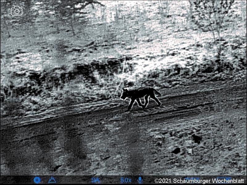 (Wärmebild) Wolfssichtung in Möllenbeck! Für Landwirte, Spaziergänger mit Hunden und Autofahrer heißt das: