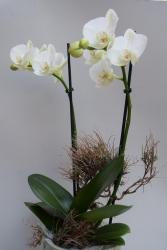 Phalenopsisorchidee  in weiß oder rosa